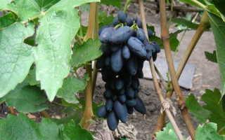 Виноград «Академик»: описание сорта и правила выращивания