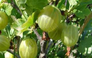 Крыжовник Гроссуляр: особенности сорта + выращивание