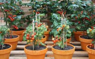 Помидоры на балконе: как вырастить богатый урожай дома?