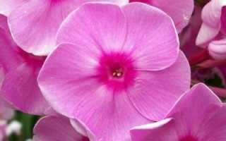 Флоксы посадка и уход за необычными цветами