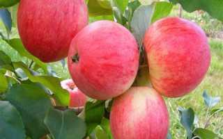 Яблоня«Амурское урожайное»: описание, достоинства и недостатки