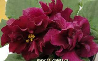 Фиалка Бой быков: описание сорта, советы по выращиванию, фото