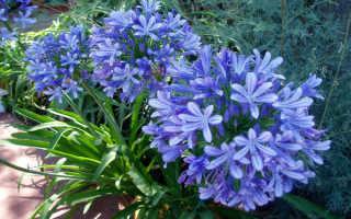 Цветок агапантус: все о южноафриканском цветке любви