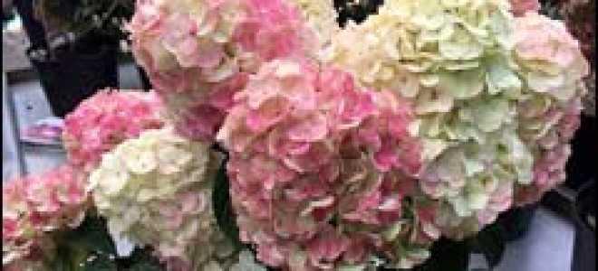 Гортензия Самарская Лидия: описание, посадка и уход, размножение