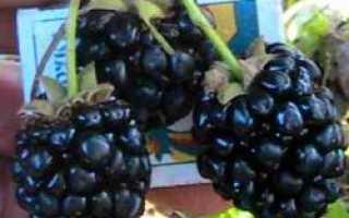Ежевика Аучита: описание сорта, выращивание, достоинства, фото