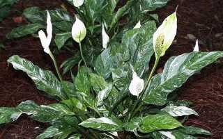 Spatiophyllum; Домино; (27 фото): описание сорта, уход в домашних условиях