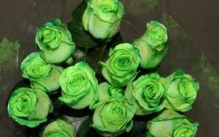Зелёная роза – правила посадки и уход. Описание разновидностей