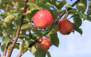 Яблоня Горноалтайская: описание, отзывы, выращивание и уход