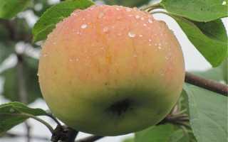 Яблоня Поливитаминное: описание, фото, характеристика