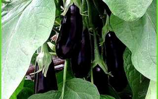 Баклажаны выращивание в теплице – уход, особенности +видео