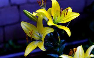 Желтые лилии: сорта. Правила размножения, ухода