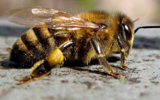 Среднерусская пчела: вид и характеристика, достоинства и особенности