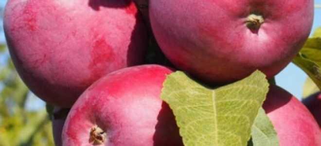 Яблоня Зорька: описание сорта и свойств