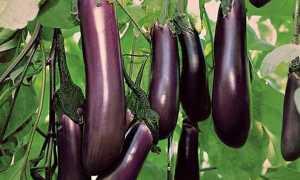 Баклажаны Черный принц: описание, уход, сбор урожая, заготовка
