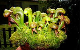 Дарлингтония – хищная кобра, экзотическое и редкое растение