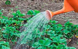 Садовая земляника: ценные советы по выращиванию
