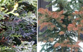 Болезни хвойных деревьев: как с ними бороться?