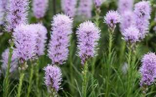 Лиатрис: описание, выращивание, посадка и уход + фото