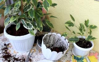 Почва для фикуса: какая нужна почва для выращивания комнатного фикуса в домашних условиях? Состав почвы
