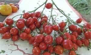 Томат Поцелуй герани: описание, выращивание, уход + фото и видео
