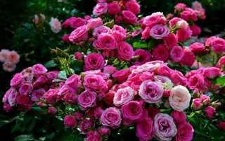 Розы Спрей: описание сорта. Правила посадки, ухода