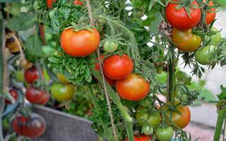 Томат Палка – всё об этом удивительном сорте помидор