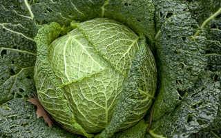 Савойская капуста – польза и вред для организма   Польза и вред