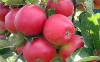 Яблоня Штрифель: полная характеристика сорта, выращивание и уход