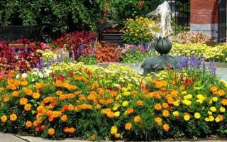 Самые надежные цветы однолетники: 10 видов. Описание и фото