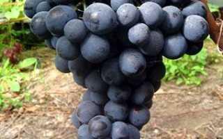 Виноград Страшенский – особенности ухода, как выращивать Страшенский