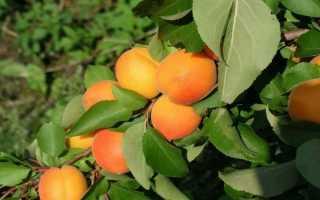 Абрикос Жигулёвский сувенир: правила выращивания и ухода + фото