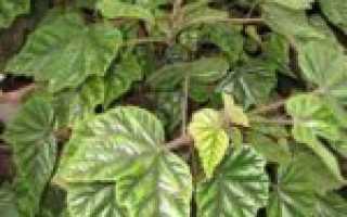 Бегония цветущая и лиственная- названия, виды, описание +фото