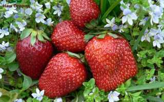 Сорт клубники: выбираем самый лучший