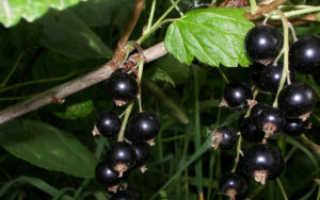 Смородина Дачница – описание, выращивание и уход, плюсы и минусы