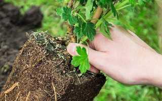 Посадка крыжовника – технология высадки растения (с видео)