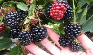 Ежевика Гай: описание, выращивание, видео и фото