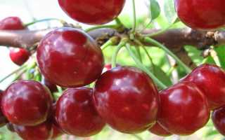 Гибрид вишни и черешни «Превосходная Веньяминова» – описание