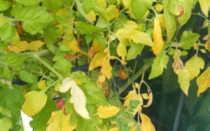 Хлороз томатов: описание болезни и методы лечения