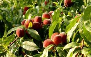 Персик: как и где выглядит, как и как цветет, сколько лет персиковое дерево плодоносит