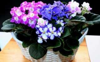 Розовые фиалки: описание, выращивание и уход + фото