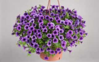 Ампельная петуния Саксесс: сорта, выращивание, отзывы + фото