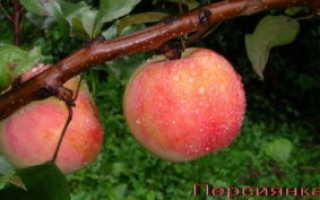 Яблоня Персиянка: описание сорта, выращивание, фото и видео