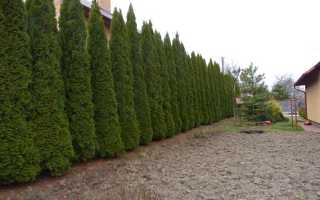 Живая изгородь из туи: как вырастить, лучшие сорта, уход
