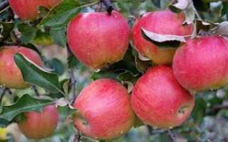 Яблоня подарок Графскому – описание сорта, посадка и уход