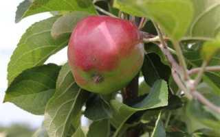 Яблоня Кубань: описание и особенности сорта + фото