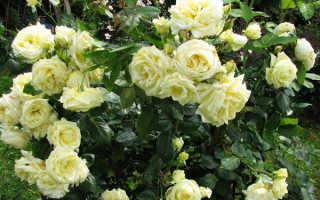 Роза Эльф: описание сорта и уход