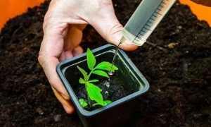 Подкормка рассады помидор после пикировки: обзор удобрений