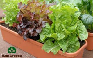 Зелень рассадой: все тонкости и нюансы