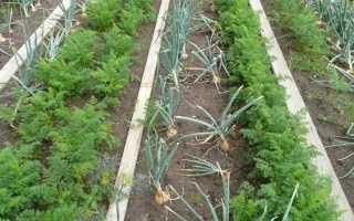 Какие растения можно сажать лук под озимые: таблица лучших предшественников, посадка после картофеля, моркови и других овощей в открытом грунте, севооборот