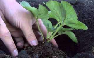 Выращивание клубники без хлопот: особенности и уход